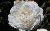White Rose 39 Free Hd Wallpaper