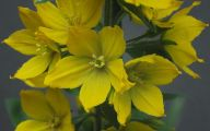Yellow Flower Perennial 2 Cool Wallpaper