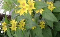 Yellow Flower Perennial 27 Cool Wallpaper