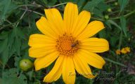 Yellow Flower Perennial 34 Free Wallpaper