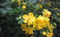 Yellow Flower Shrub 11 Desktop Wallpaper