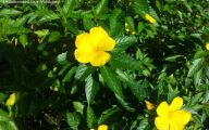 Yellow Flower Shrub 24 Desktop Wallpaper