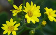 Yellow Flower Shrub 5 Background Wallpaper
