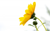 Yellow Flower Wallpaper 4 Free Hd Wallpaper