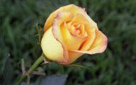 Yellow Roses 11 High Resolution Wallpaper