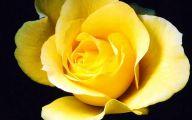 Yellow Roses 15 Cool Hd Wallpaper