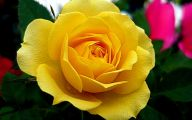 Yellow Roses 24 Hd Wallpaper