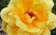Yellow Roses 29 Free Wallpaper