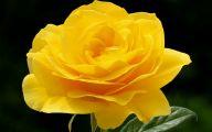 Yellow Roses 6 Widescreen Wallpaper