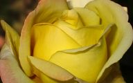 Yellow Roses 8 Cool Wallpaper