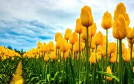 Yellow Tulips 1 Widescreen Wallpaper