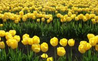 Yellow Tulips 12 Widescreen Wallpaper