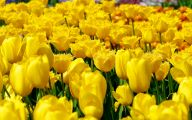 Yellow Tulips 23 Background Wallpaper