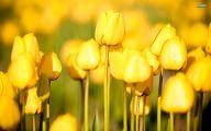 Yellow Tulips 25 Cool Wallpaper