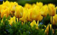 Yellow Tulips 30 Free Hd Wallpaper