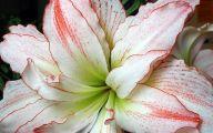 Amaryllis Flowers 14 Wide Wallpaper