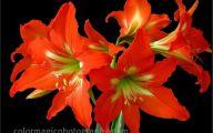 Amaryllis Flowers 2 Background