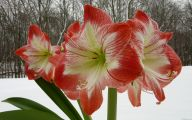Amaryllis Flowers 21 Widescreen Wallpaper
