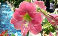 Amaryllis Flowers 27 Free Wallpaper