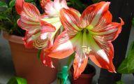 Amaryllis Flowers 28 Free Wallpaper