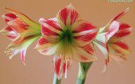 Amaryllis Flowers 39 Desktop Wallpaper