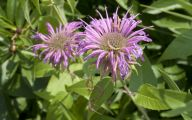 Bee Balm Flowers 14 Widescreen Wallpaper