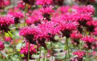 Bee Balm Flowers 17 Hd Wallpaper