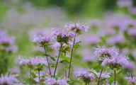 Bee Balm Flowers 23 Cool Wallpaper