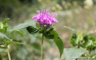 Bee Balm Flowers 26 Wide Wallpaper