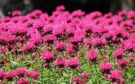 Bee Balm Flowers 27 Cool Hd Wallpaper