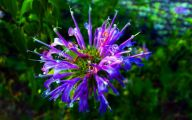Bee Balm Flowers 38 Cool Hd Wallpaper