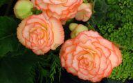 Begonias Flowers 14 Desktop Wallpaper