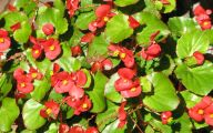 Begonias Flowers 17 Widescreen Wallpaper