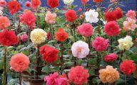 Begonias Flowers 21 High Resolution Wallpaper