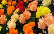 Begonias Flowers 22 Wide Wallpaper