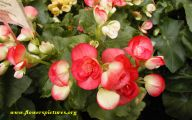 Begonias Flowers 24 Hd Wallpaper
