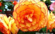 Begonias Flowers 28 Cool Hd Wallpaper