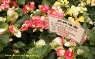 Begonias Flowers 39 Desktop Background