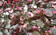 Begonias Flowers 5 Background