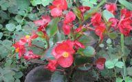 Begonias Flowers 8 Free Wallpaper