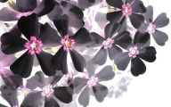 Black Flowers Images  11 Cool Wallpaper