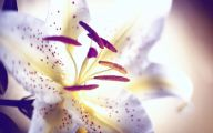 Black Lily Flowers 16 Hd Wallpaper
