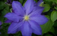 Blue Clematis 17 Background