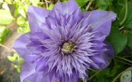 Blue Clematis 19 Background