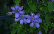Blue Clematis 4 Background