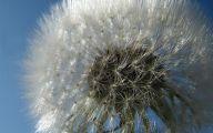 Blue Dandelion 22 Background