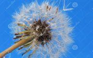 Blue Dandelion 3 Free Hd Wallpaper