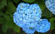 Blue Hydrangea 1 Cool Wallpaper