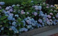 Blue Hydrangea 10 Hd Wallpaper