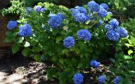 Blue Hydrangea 11 Desktop Wallpaper